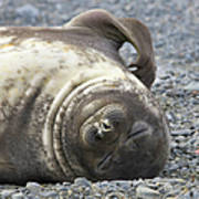 Southern Elephant Seal Weaner Pup Art Print