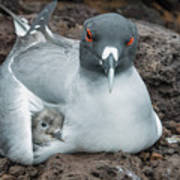 Swallow-tailed Gull Brooding Chick Art Print