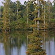 Tennesse Cypress In Wetland  Art Print