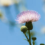 Thistle With Blue Sky Background Art Print
