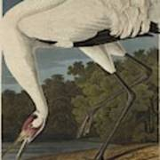 Whooping Crane  From The Birds Of America  Art Print