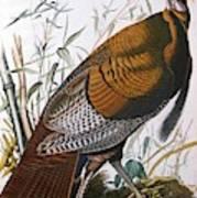 Wild Turkey  Male  Art Print