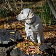 Yellow Labrador Retriever Art Print