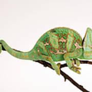 Yemen Chameleon Sitting On Branch Art Print