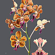 Orchid Old Print Art Print