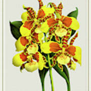 Orchid Vintage Print On Tinted Paperboard Art Print