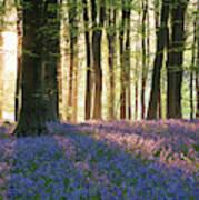 Stunning Bluebell Forest Landscape Image In Soft Sunlight In Spr Art Print