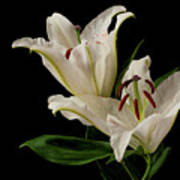 White Lily On Black. Art Print