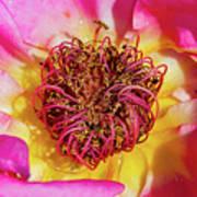 My Rose, Dijon, France, May Art Print