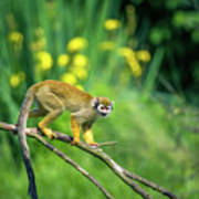 Common Squirrel Monkey Walking On A Tree Branch Photograph By Miroslav Liska