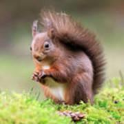 Red Squirrel Sciurus Vulgaris Art Print