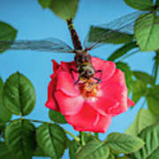 Dragonfly On A Flower Of A Red Rose. Macro Photo Art Print