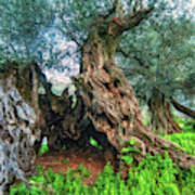 Old Olive Tree Art Print