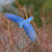 Mountain Bluebird Art Print