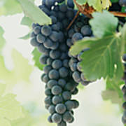 A Bunch Of Black Grapes Hanging From Art Print
