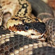 A Close Up Of A Mojave Rattlesnake Art Print