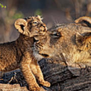 A Female Lion Panthera Leo And Her Cub Art Print