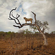 A Female Lion Standing On Bare Branch Art Print