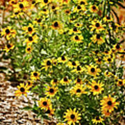A Group Of Bossoming Black-eyed Susans Art Print