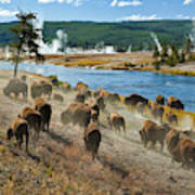 A Herd Of Bison Moves Quickly Art Print