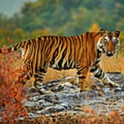 A Large Tiger In Bandhavgarh National Art Print