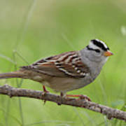 adult White-crowned Sparrow Art Print