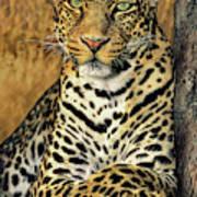 African Leopard Portrait Wildlife Rescue Art Print