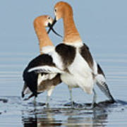 American Avocets, Courtship Dance Art Print