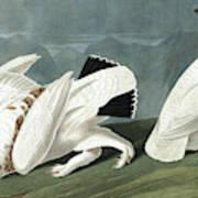 American Ptarmigan, Tetrao Mutus, White Tailed Grous, Tetrao Leucurus Art Print