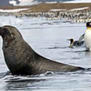 An Antarctic Fur Seal, Arctocephalus Art Print