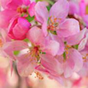Apple Blossom 12 Art Print