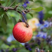 Apple On The Tree Art Print