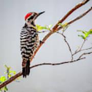 Arizona Ladderback Woodpecker Art Print