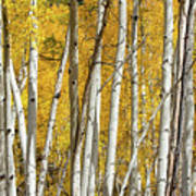 Aspen Autumn Art Print