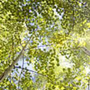 Aspen Canopy With Sun Flare Art Print