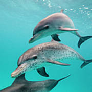 Atlantic Spotted Dolphin Stenella Art Print