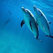 Atlantic Spotted Dolphins, Stenella Art Print