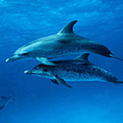 Atlantic Spotted Dolphins,stenella Art Print