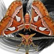 Atlas Moth8 Art Print