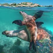 Australian Sea Lion Pair, Coral Coast Art Print