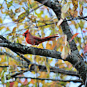 Autumn Cardinal Art Print
