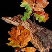 Autumn Oak Leaves And Acorns On Black Art Print