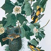 Baltimore Orioles Icterus Galbula Art Print
