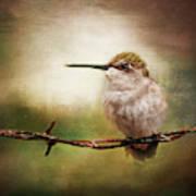 Barbed Wire Hummingbird Perch Art Print