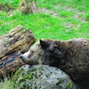 Bear Sleeping On A Rock. Art Print