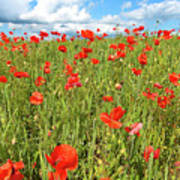 Beautiful Fields Of Red Poppies Art Print