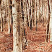 Beech Forest Art Print