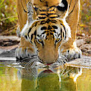 Bengal Tiger Reflecting In Water India Photograph By Panoramic Images