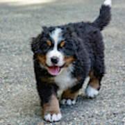 Bernese Mountain Dog Puppy 2 Art Print