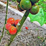 Berries In Shaman's Garden In Amazon Jungle, Peru Art Print